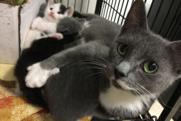 This mom and her five kittens are the only ones from the original 28 that are not available for adoption yet. (WTOP/Kate Ryan)