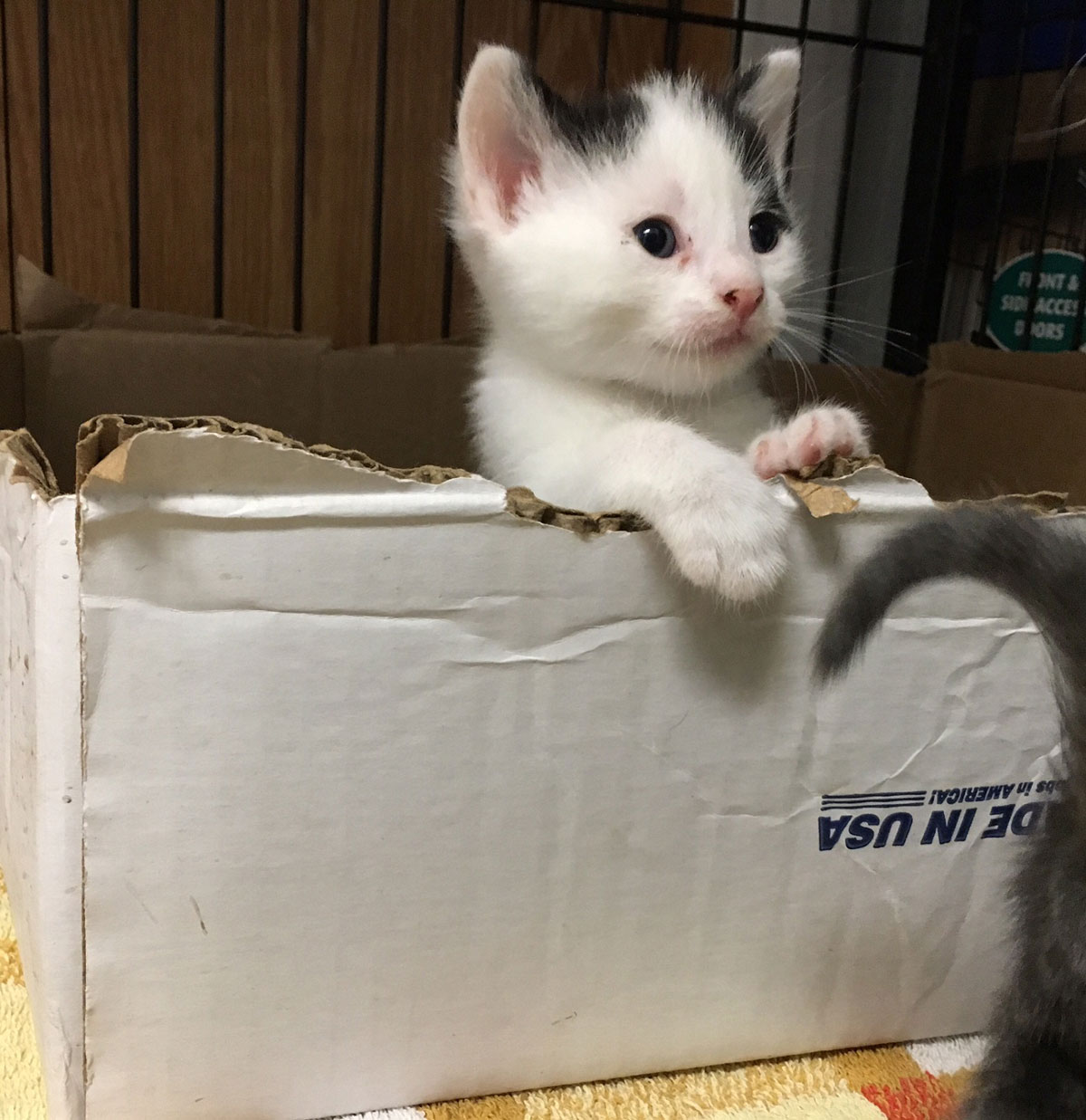 One of five kittens that will be available for adoption in about 4 weeks. (WTOP/Kate Ryan)