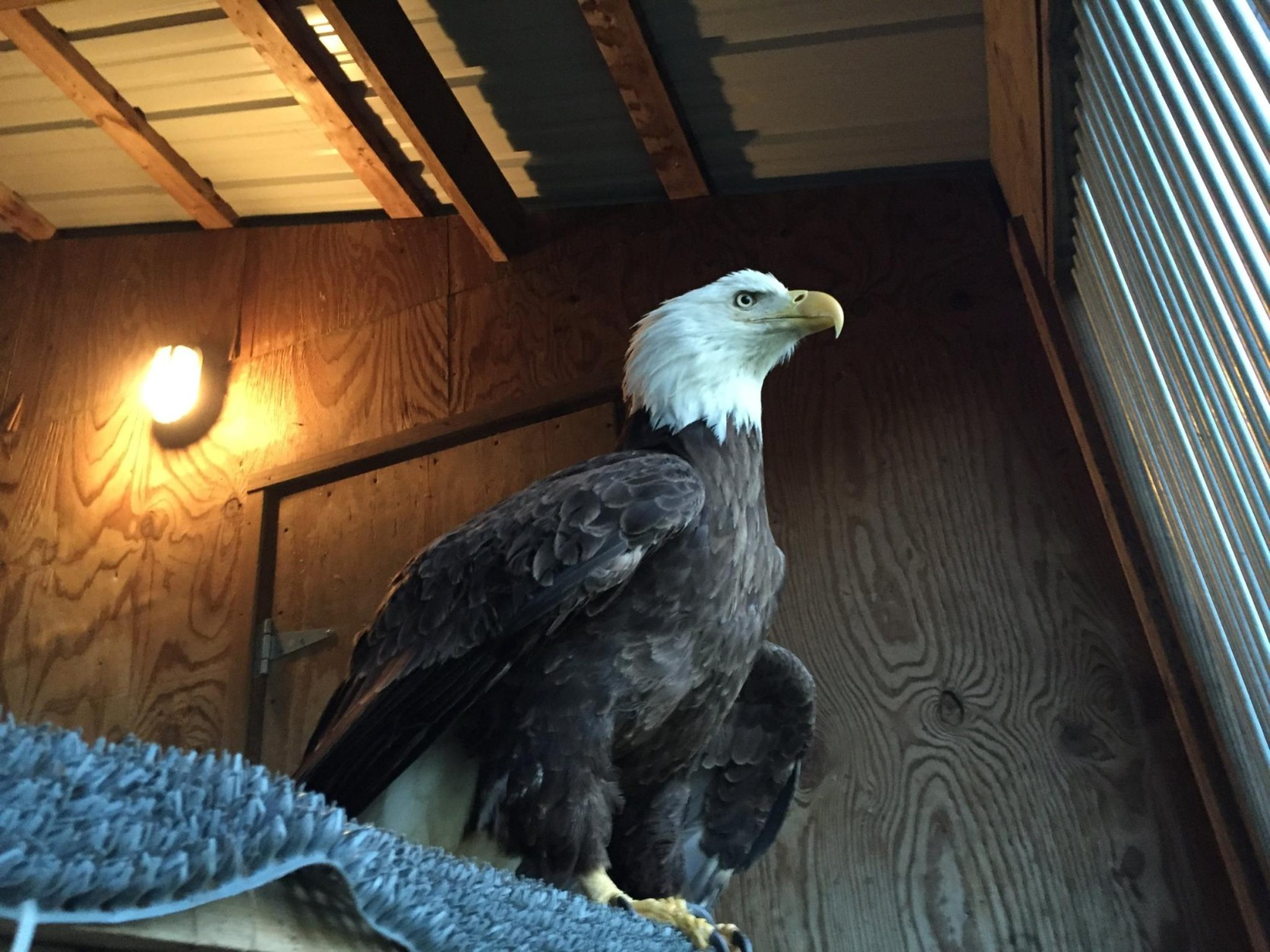 """The injured bald eagle named """"Trust"""" was taken to Owl Moon Raptor Center in March for rehabilitation. (Courtesy Owl Moon Raptor Center)"""