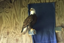 """A bald eagle named """"Trust"""" was found injured in a backward in Potomac, Md., in March. (Courtesy Owl Moon Raptor Center)"""