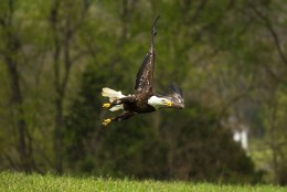 """""""Trust"""" the bald eagle tests her wings during rehabilitation at the Owl Moon Raptor Center. Trust was released from the center in May after several months of recovery. (Courtesy Owl Moon Raptor Center)"""