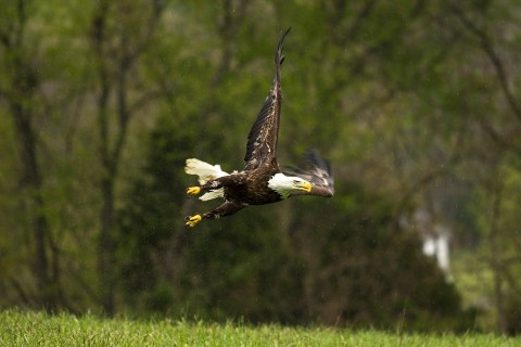 Injured bald eagle rebounds to fly again (Photos)