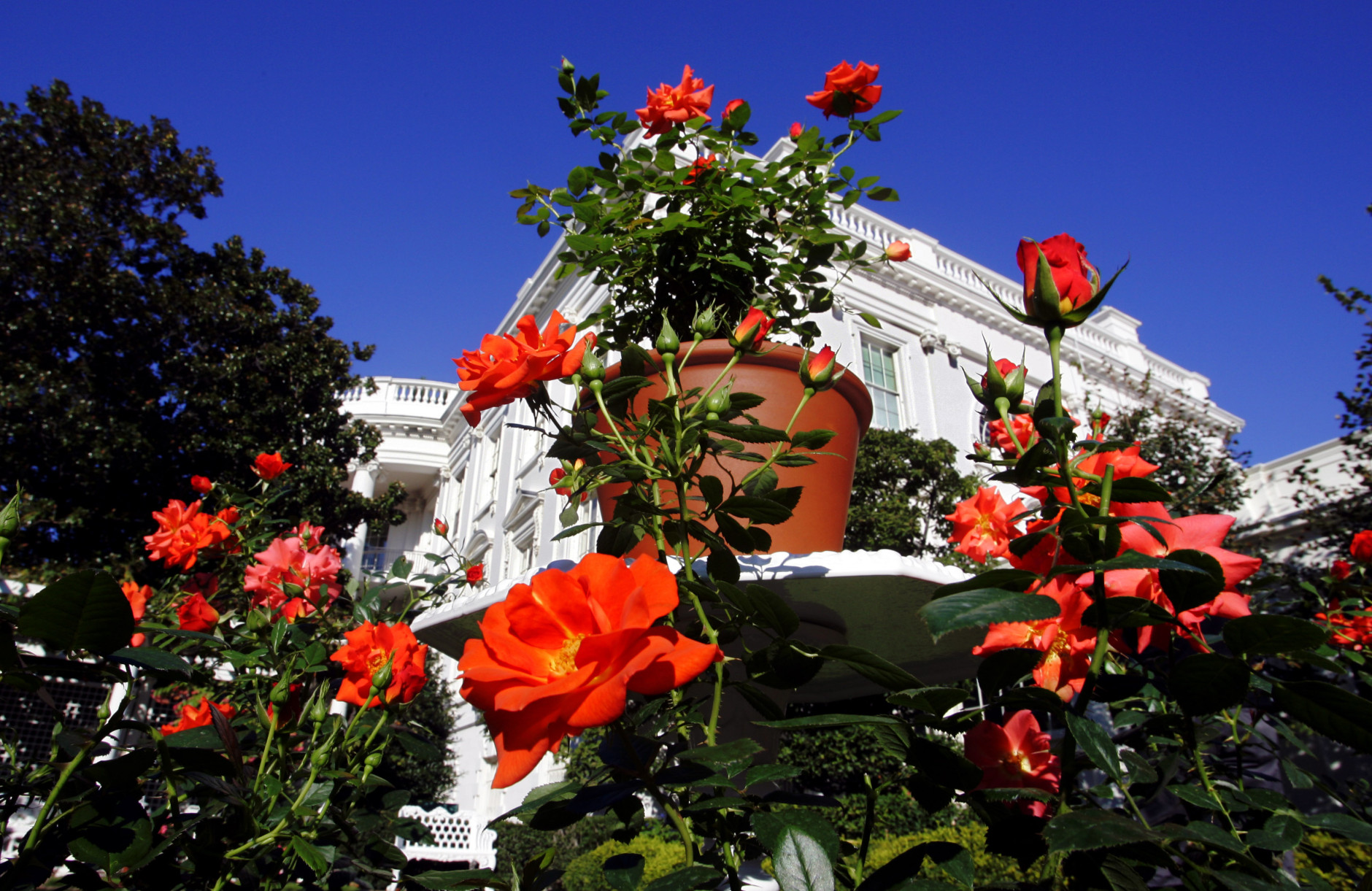 The Laura Bush Rose, a new hybrid named in honor of first lady Laura Bush, is displayed in the First Lady's Garden at the White House in Washington, Monday, Oct. 2, 2006. The rose was developed by Jackson & Perkins in Wasco, Calif., and Medford, Ore., which is owned by the gourmet gift catalog company Harry and David. (AP Photo/J. Scott Applewhite)
