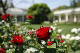Roses bloom in the Rose Garden of the White House in Washington, Friday, May 23, 2008. The White House this week announced the annual garden tours, where visitors will be able to see the Jacqueline Kennedy Garden, Rose Garden, Children's Garden and the South Lawn of the White House. (AP Photo/Charles Dharapak)