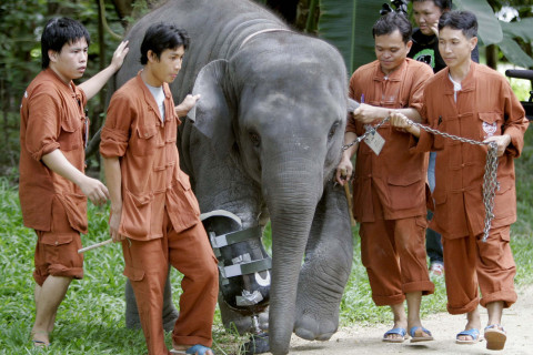 10 years later, elephant gets another prosthetic leg