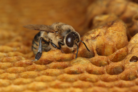 Va. honey bee colonies increasing, deaths continue