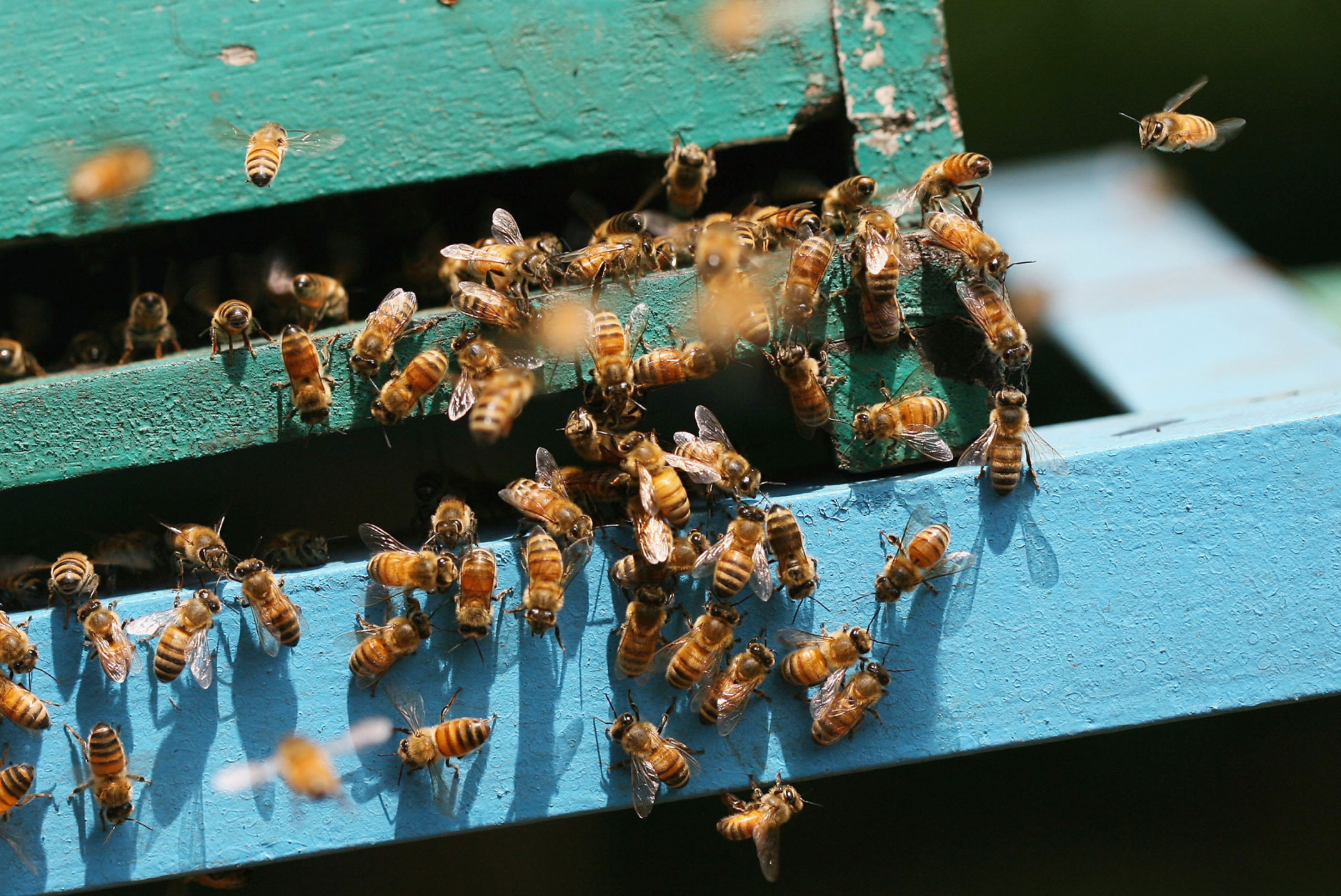 Garden editor Mike McGrath explains how to differentiate between the honeybee (shown) and the more troublesome yellow jacket. (Getty Images/Dimas Ardian)