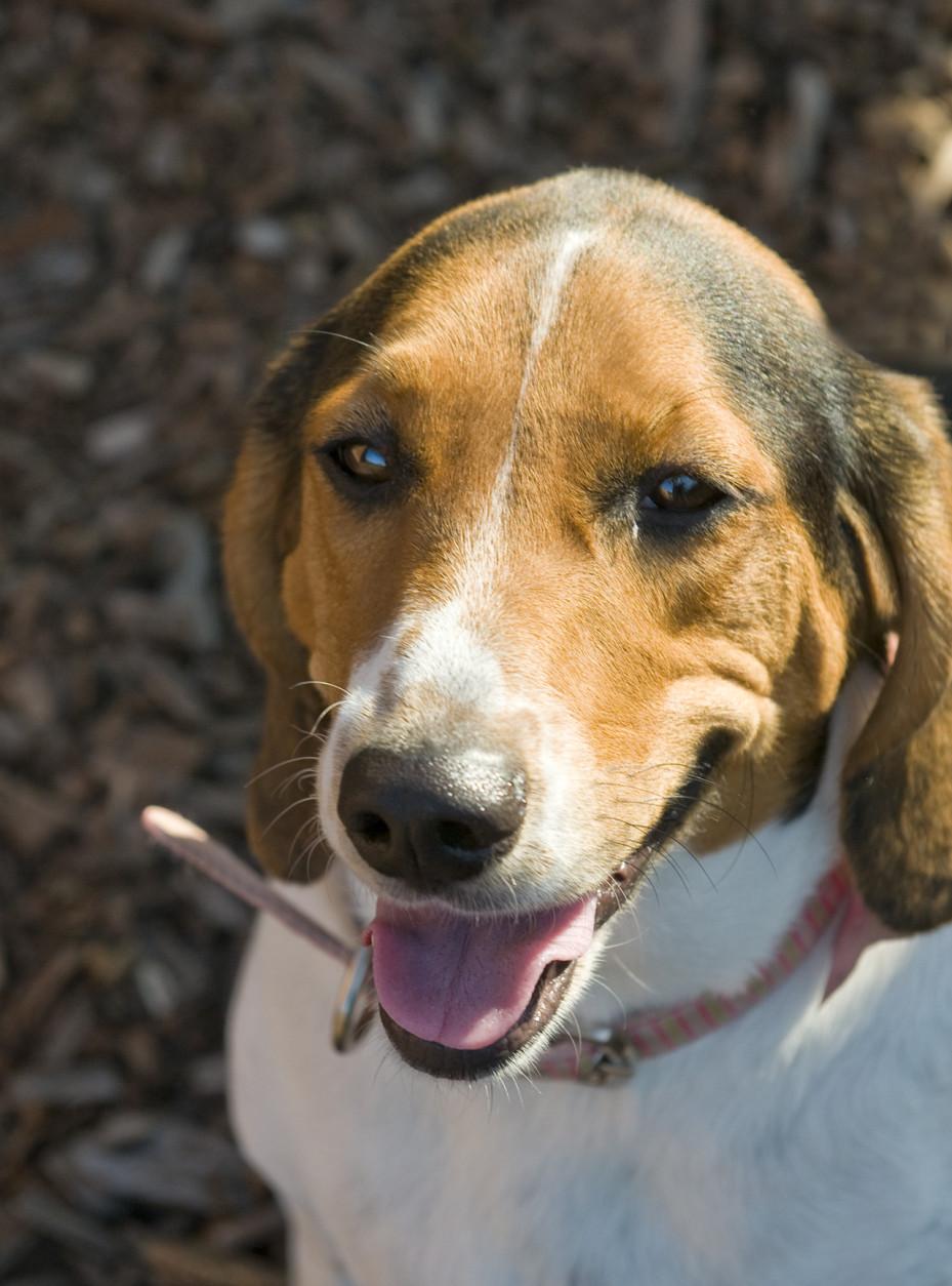 Haiti is this week's Pet of the Week. (Courtesy Washington Humane Society/Washington Animal Rescue League)