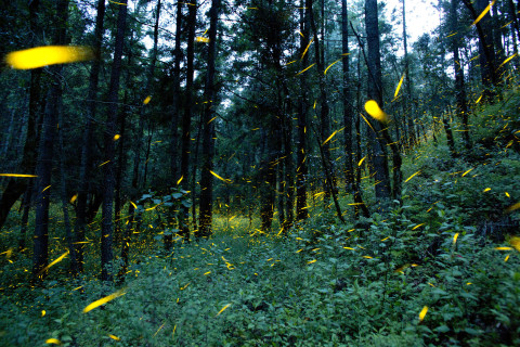 Think back: Did you see any fireflies this summer?