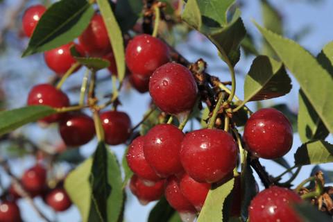 Key ingredient in cherry pie is in short supply