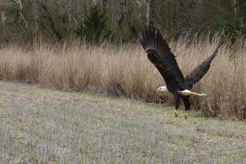 Feds closing investigation into deaths of 13 bald eagles in Md.