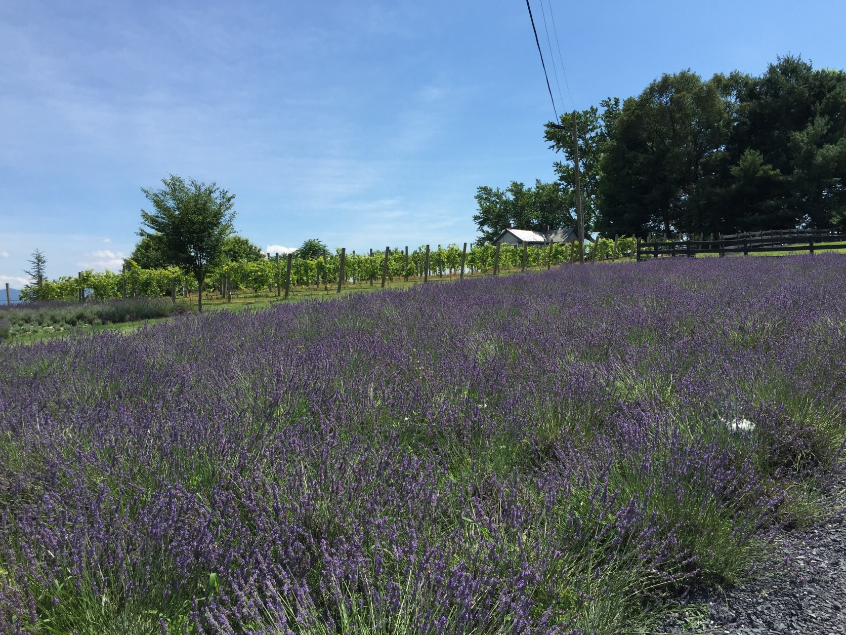 Need to unwind? Relax and visit a lavender farm | WTOP