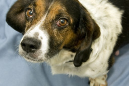 Mystique is low-key and is great on a leash, and she is this week's Pet of the Week. (Courtesy Washington Humane Society-Washington Animal Rescue League)