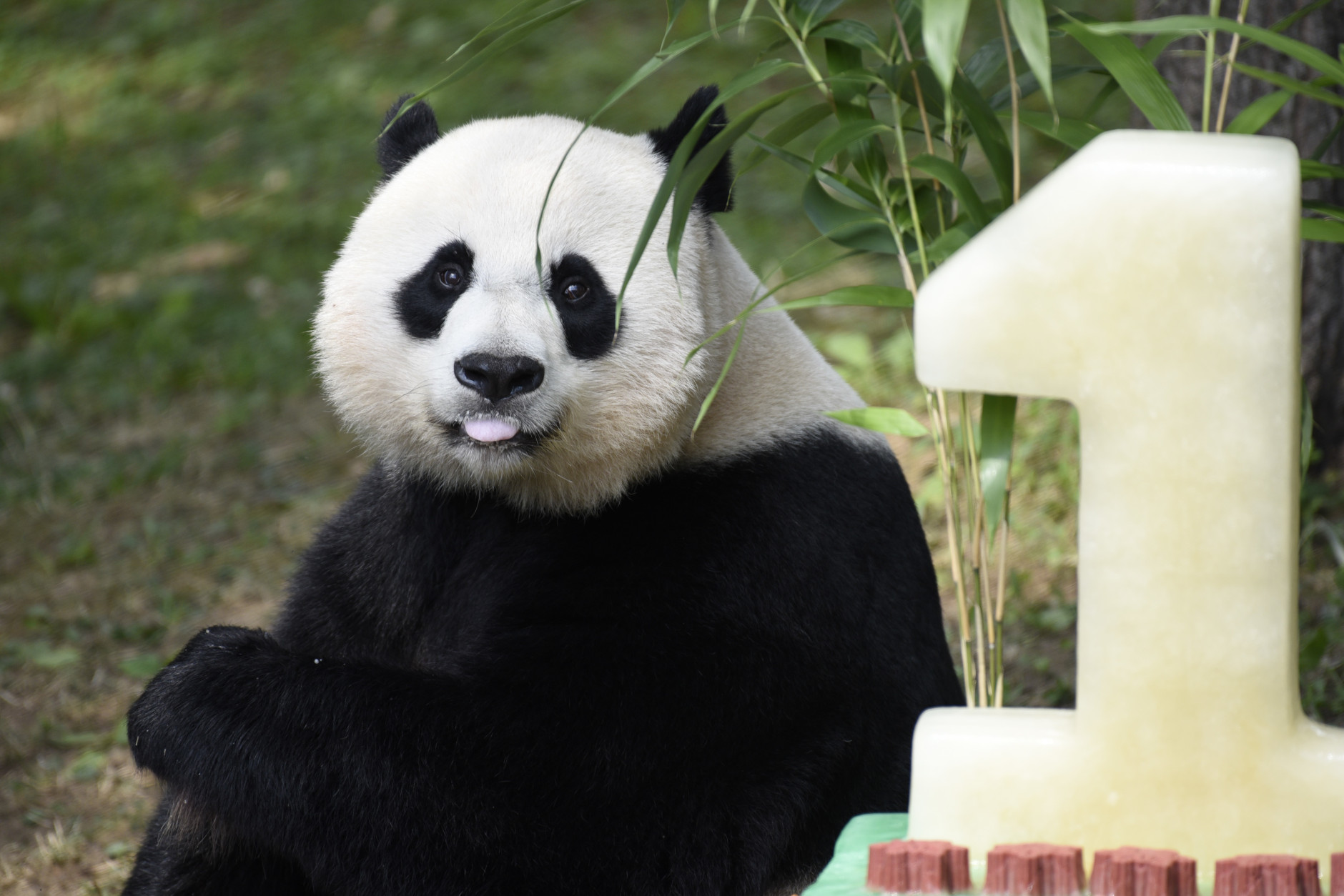Mei Xiang, mother of giant pande cub Bei Bei, eats Bei Bei's birthday cake at the National Zoo in Washington, Saturday, Aug. 20, 2016, during a celebration of Bei Bei's first birthday. (AP Photo/Sait Serkan Gurbuz)