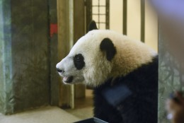 One-year-old giant panda cub Bei Bei takes a peek out of his cage at the National Zoo in Washington, Saturday, Aug. 20, 2016, where the zoo celebrated Bei Bei's first birthday. (AP Photo/Sait Serkan Gurbuz)