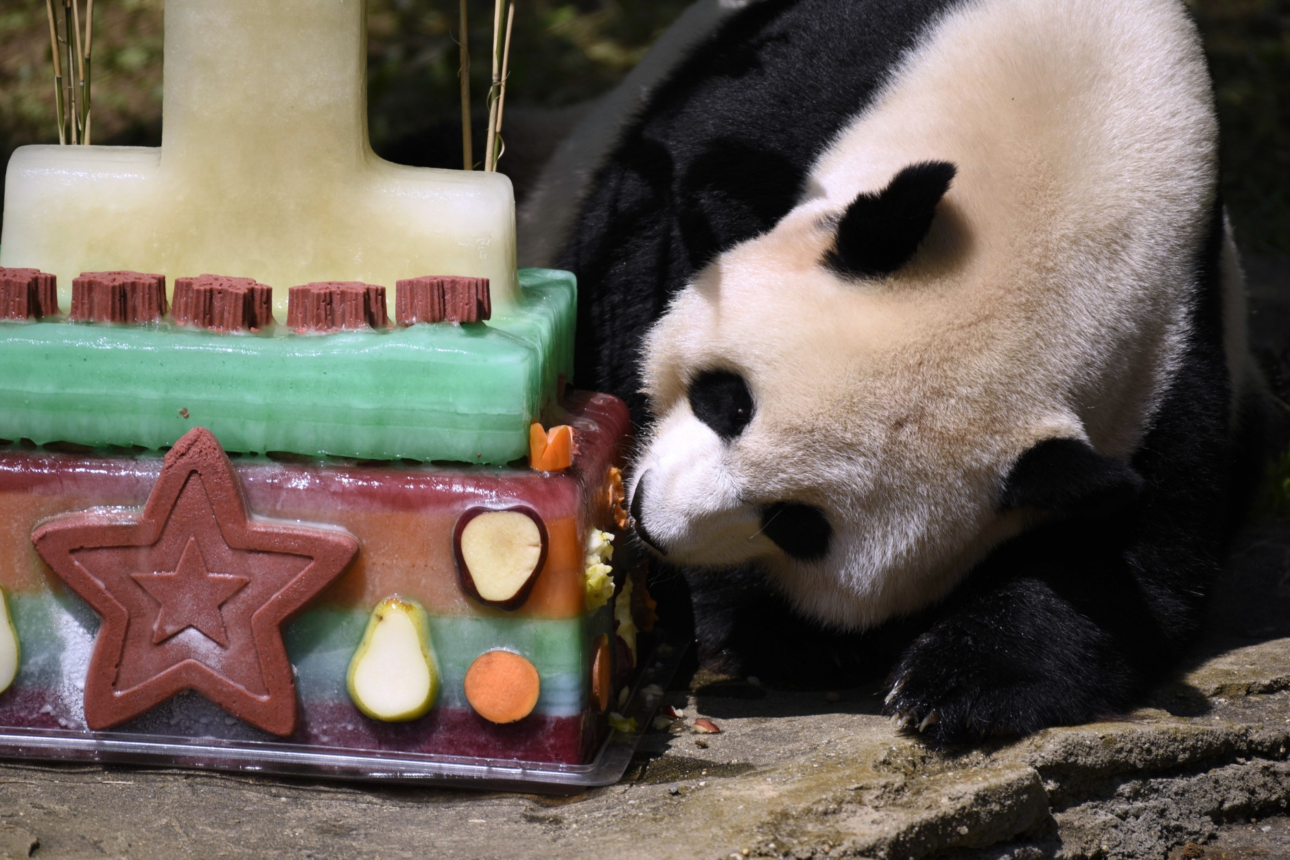 Mei Xiang, mother of giant panda cub Bei Bei, eats Bei Bei's birthday cake at the National Zoo in Washington, Saturday, Aug. 20, 2016, during a celebration of Bei Bei's first birthday. (AP Photo/Sait Serkan Gurbuz)