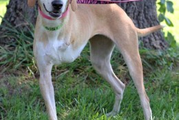 Gigi is also looking for a forever home. (Courtesy of Last Chance Animal Rescue)