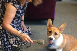 WTOP's Paula Wolfson interviews Yogi, a  4-month-old Corgi who brings calmness and joy to patients at a local psychotherapy practice. (Courtesy Gregory Jones)