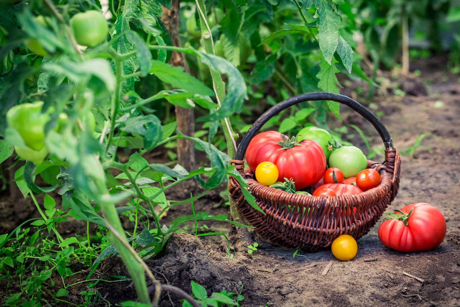 Summer Harvesting Tips When To Pick Tomatoes Corn And Beans Wtop