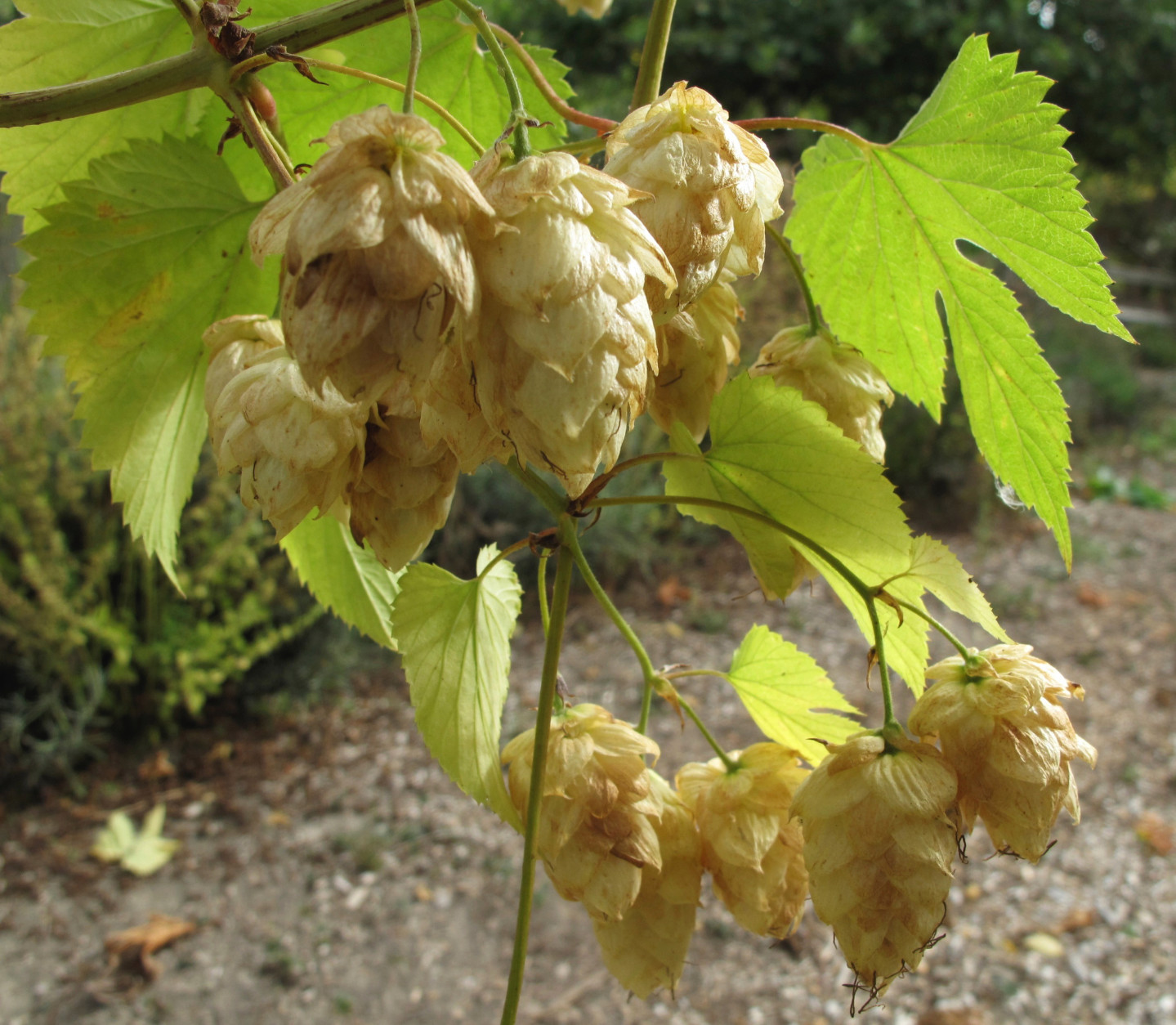 This Oct. 2, 2013 photo shows hop flowers that are both ornamental and edible in a garden in Langley, Wash. Hops are an easy-to-grow perennial that greatly enhance a beer's flavor when picked fresh. (AP Photo/Dean Fosdick)