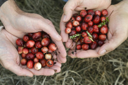 In this Sept. 20, 2016 photo, executive director of the Cape Cod Cranberry Growers Association Brian Wick, left, and cranberry grower Steve Ward, right, hold harvested cranberries at a bog in Rochester, Mass. All is not well in cranberry country as harvesting season arrives and celebrations mark the 200th anniversary of the first known commercial cultivation. A report says growers in Massachusetts, the birthplace of the industry, are in dire straits. (AP Photo/Elise Amendola)
