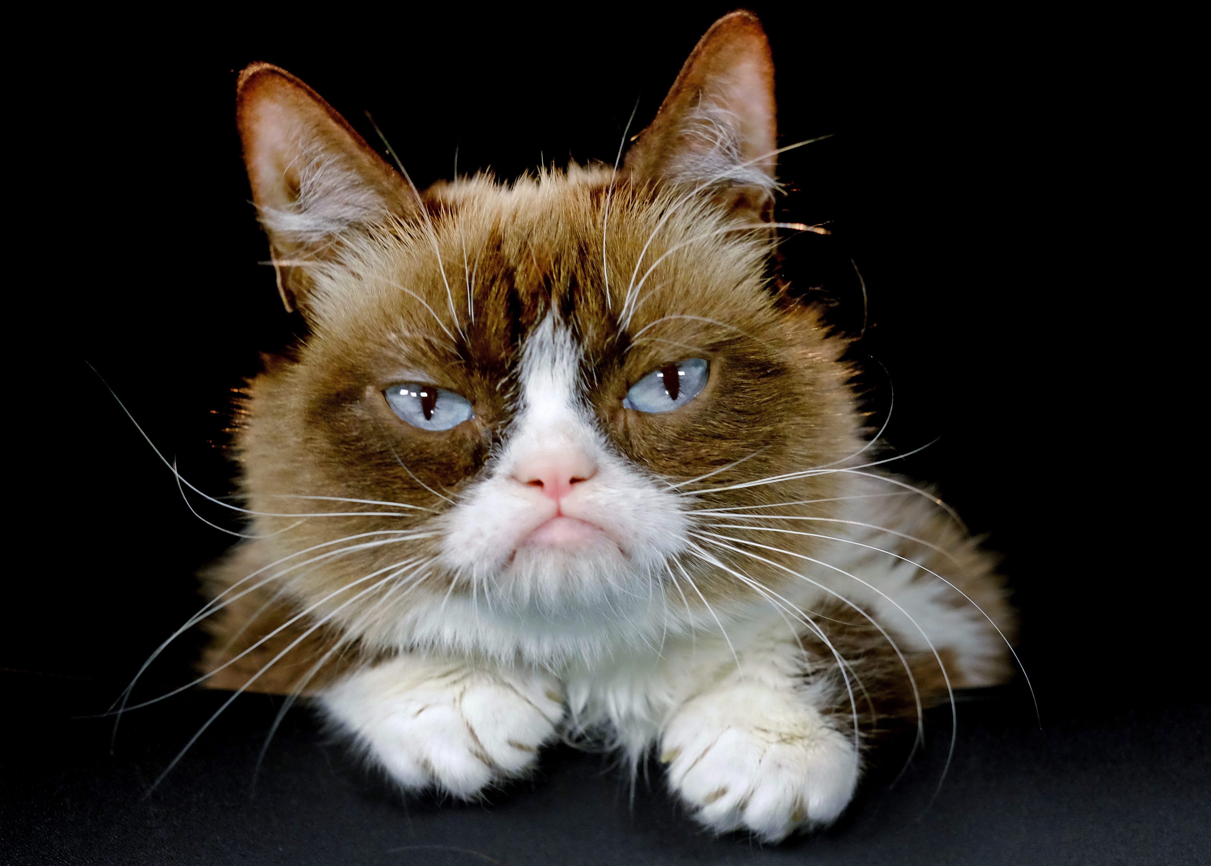 Grumpy Cat, grouchy-faced furball that launched a thousand ...