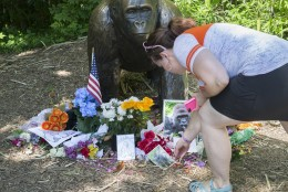 A visitor touches a picture of Harambe, a male silverback gorilla, at a makeshift memorial outside the Gorilla World exhibit at the Cincinnati Zoo & Botanical Garden, Tuesday, June 7, 2016, in Cincinnati. The Cincinnati Zoo reopened its gorilla exhibit Tuesday with a higher, reinforced barrier installed after a young boy got into the exhibit and was dragged by the 400-pound Harambe, which was then shot and killed. (AP Photo/John Minchillo)