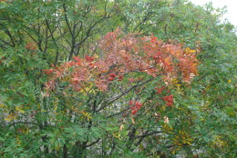 A mountain ash adorned with berries begins its color change early. The most brilliant display of fall colors along Skyline Drive tend to occur in mid-October. (Courtesy National Park Service)