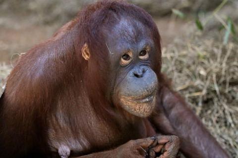Baby orangutan born at National Zoo (Photos)