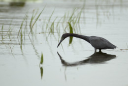 A small blue heron tries to catch a fish in the waters of the Florida Everglades National Park Sunday, Oct. 30, 2011. (AP Photo/J Pat Carter)