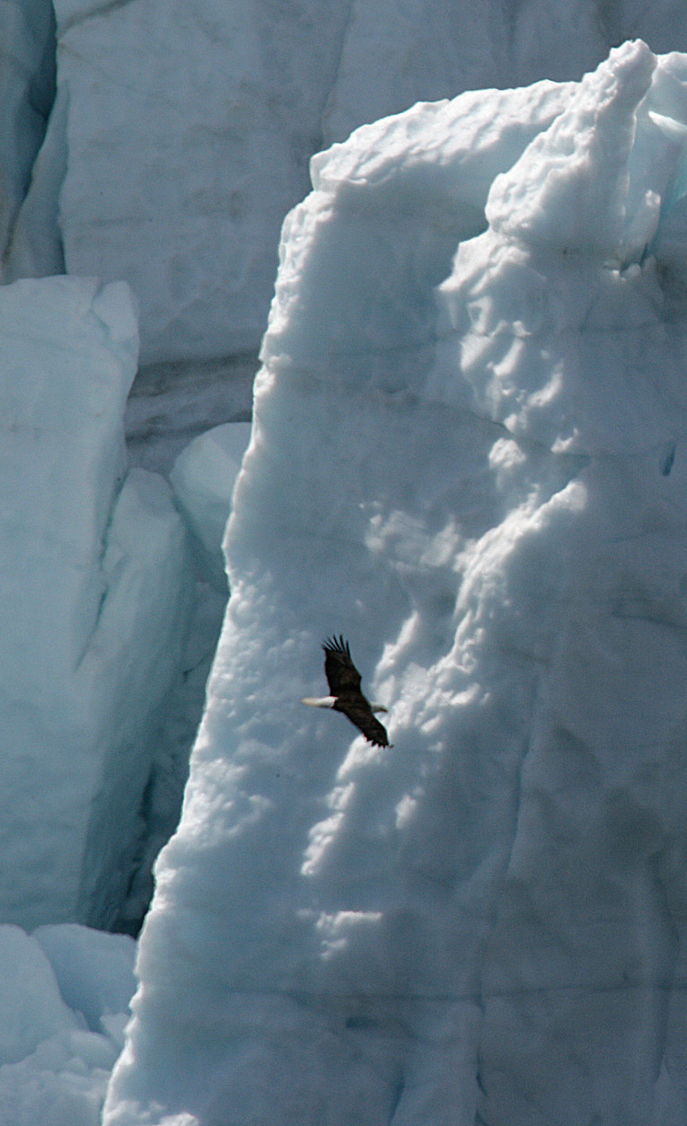 An American Bald eagle soars in front of the Margerie Glacier in Glacer Bay National Park, Alaska, Tuesday June 13, 2006. (AP Photo/Dr. Scott M. Lieberman)