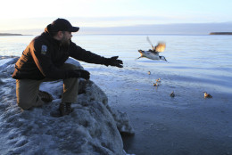 FILE - In this Jan. 5, 2016, file photo, Guy Runco, director of the Bird Treatment and Learning Center, releases a common murre near the Anchorage small boat harbor in Anchorage, Alaska. The center has treated hundreds of common murres found emaciated along beaches or in inland communities far from the ocean. A massive die-off of Alaska seabirds has stretched to the beaches of a national park in the southwest corner of the state. Federal biologists last week walked more than a dozen ocean beaches along Katmai National Park and Preserve and counted at least 2,000 dead seabirds. (AP Photo/Dan Joling, File)
