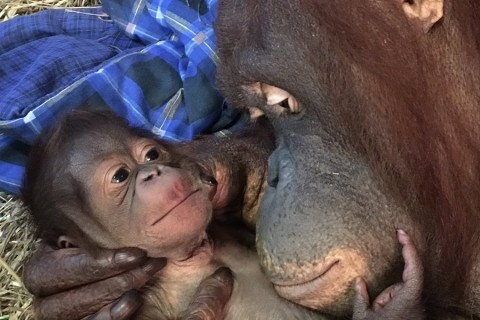 Infant orangutan thriving, now on exhibit at National Zoo