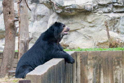 National Zoo's Andean bear Cisco dies during emergency exam