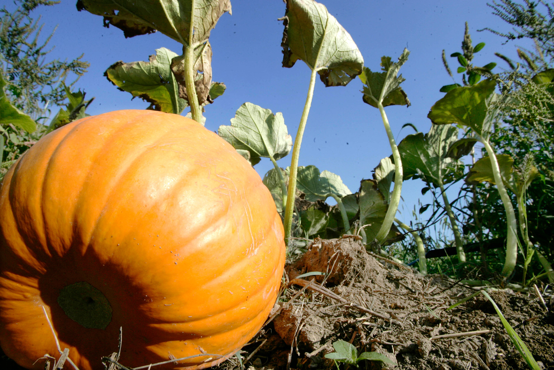 A pumpkin is seen on the vine in a patch at the Soergel farm in Wexford, Pa. Tuesday, Sept. 23, 2008. (AP Photo/Keith Srakocic)