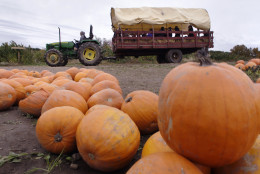 A tractor pulls a group of children on a hay ride through the pumpkin patch at Smolak Farms in North Andover, Mass., Thursday, Oct. 15, 2009. (AP Photo/Charles Krupa)