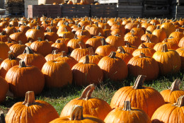 In this Sept, 28, 2010 photo,  rows of more commonly grown pumpkin varieties such as Magic Lanterns wait for customers at Curtis Orchards & Pumpkin Patch on the outskirts of Champaign, Ill. The number of pumpkin varieties grown by farms such as Curtis Orchard has exploded over the past 10 to 15 years as Halloween has become big business. (AP Photo/David Mercer).