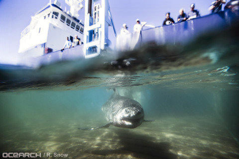 White shark nursery found off Long Island