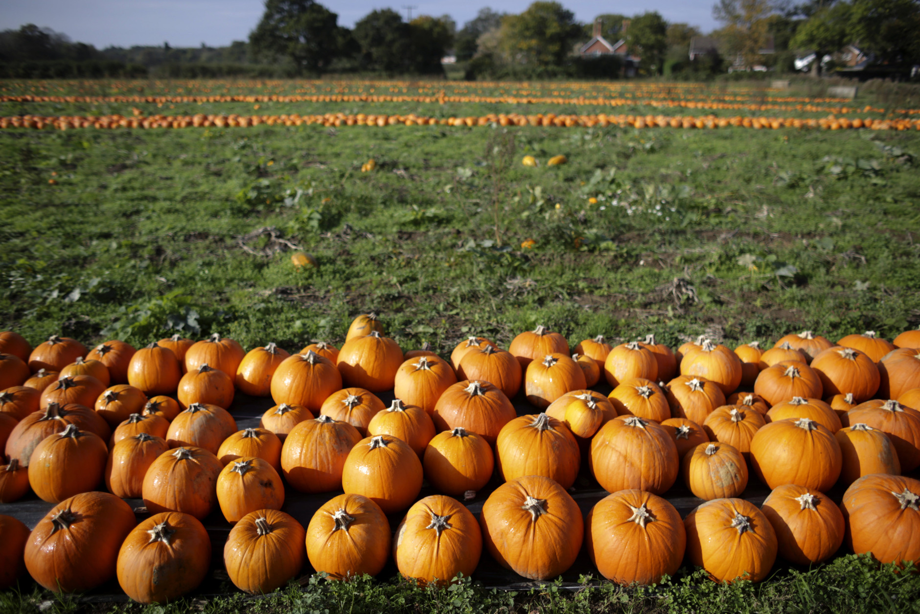 LANDFORD, UNITED KINGDOM - OCTOBER 22:  Pumpkins in a field at Lyburn Farm in Landford wait to be picked and collected on October 22, 2014 in Wiltshire, England. Although some farmers have been warning of a pumpkin shortage due to the recent wet weather, the main supermarkets are confident of meeting demand which has increased as the popularity of Halloween grows in the UK. Out of the 10 million pumpkins it is estimated that will be grown this year, the majority will be made into Halloween lanterns.  (Photo by Matt Cardy/Getty Images)
