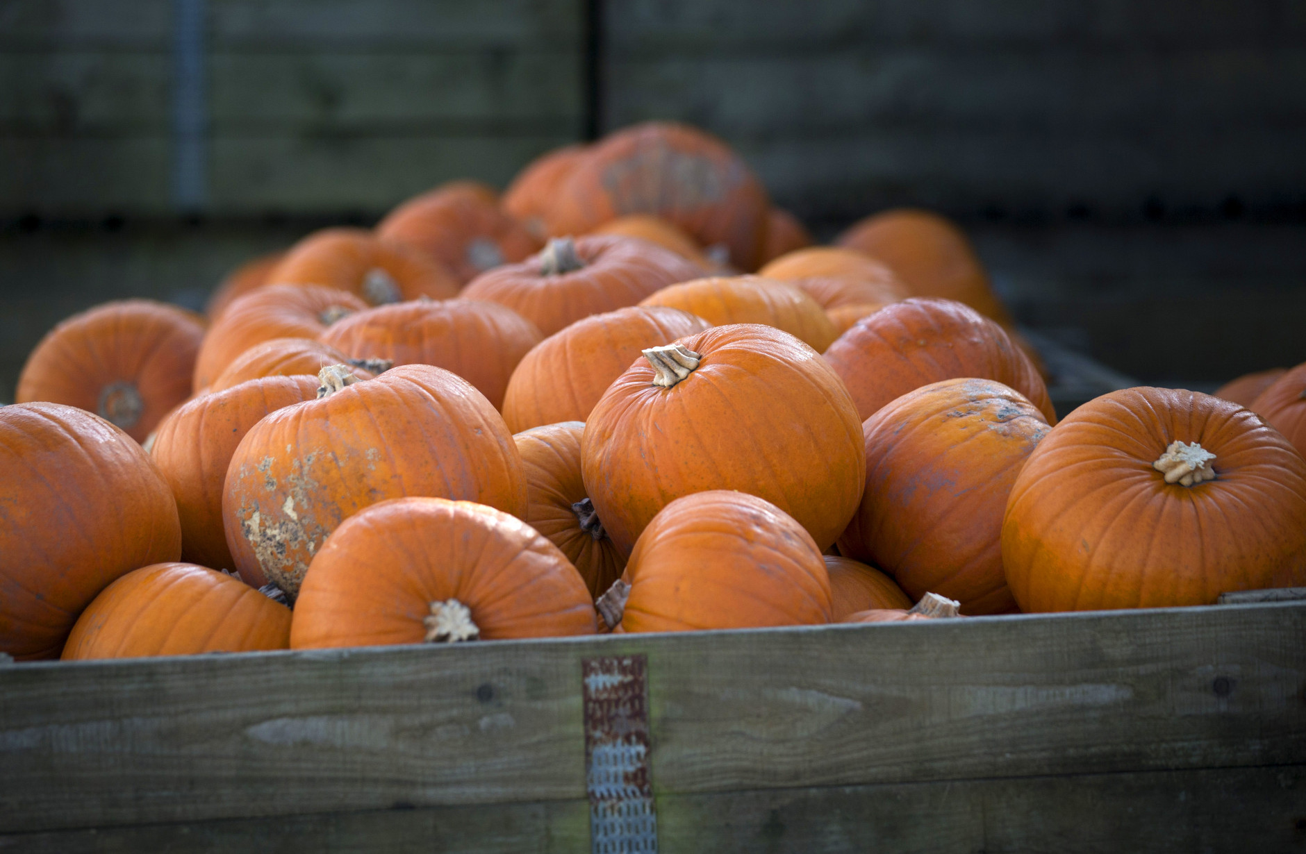 LANDFORD, UNITED KINGDOM - OCTOBER 22:  Pumpkins from Lyburn Farm in Landford are collected for market on October 22, 2014 in Wiltshire, England. Although some farmers have been warning of a pumpkin shortage due to the recent wet weather, the main supermarkets are confident of meeting demand which has increased as the popularity of Halloween grows in the UK. Out of the 10 million pumpkins it is estimated that will be grown this year, the majority will be made into Halloween lanterns.  (Photo by Matt Cardy/Getty Images)