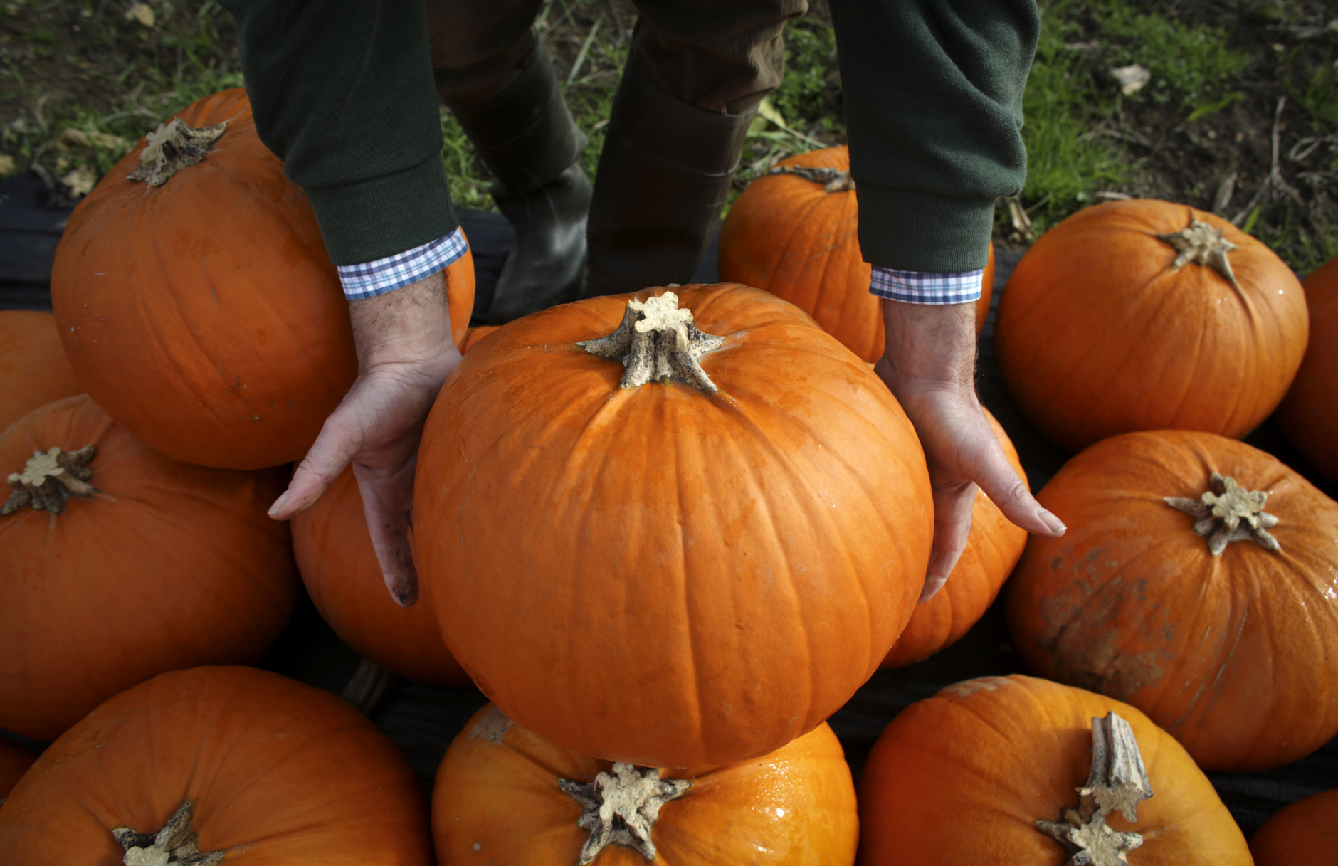 LANDFORD, UNITED KINGDOM - OCTOBER 22:  Farmer Mick Smales inspects a pumpkin that has grown on his farm and is waiting to be picked and dispatched in a field at Lyburn Farm in Landford on October 22, 2014 in Wiltshire, England. Although some farmers have been warning of a pumpkin shortage due to the recent wet weather, the main supermarkets are confident of meeting demand which has increased as the popularity of Halloween grows in the UK. Out of the 10 million pumpkins it is estimated that will be grown this year, the majority will be made into Halloween lanterns.  (Photo by Matt Cardy/Getty Images)