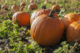 Leave pumpkins alone until they're fully colored up. (Getty Images/iStockphoto/AllenSphoto)