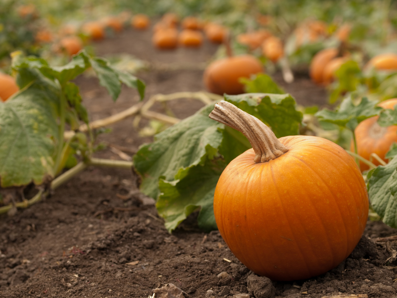 One small orange pumpkin in the foreground in a pumpkin patch