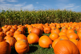 According to several top pumpkin growers in Delaware, pumpkin crops suffered from heavy, continuous rain this growing season.  (Thinkstock)