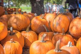 Large Pumpkins, Halloween, Pumpkin Patch, Farm, Charlotte, NC