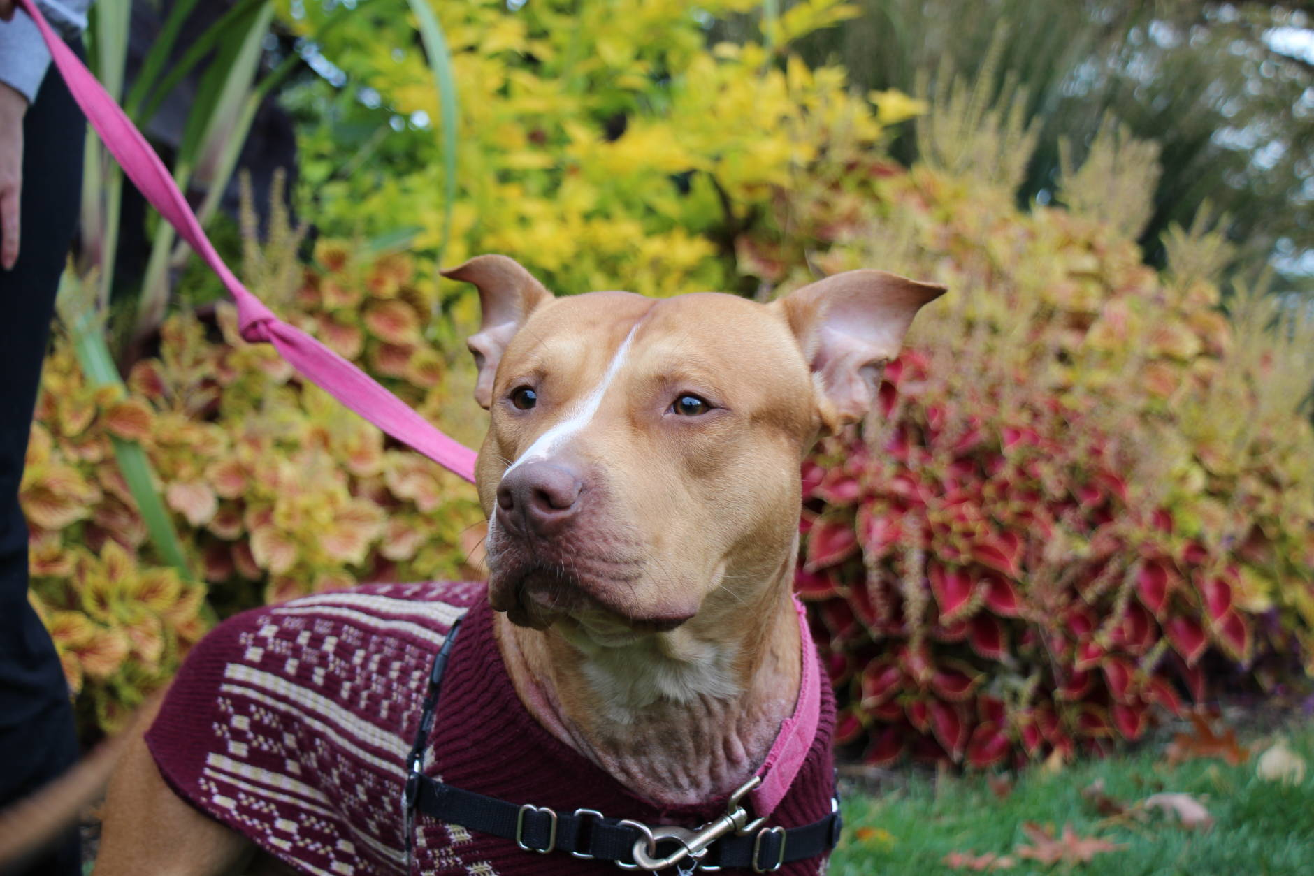 Thunder, a 2-year-old pit bull mix,  is a sweet boy that loves attention.