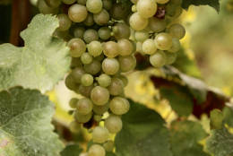 This Sept. 21, 2016 photo shows a cluster of glera grapes growing in Italy's prosecco country. Glera is the white grape that traditionally goes into the popular bubbly. (Michelle Locke via AP)