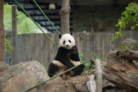 Giant panda Bao Bao to go to China