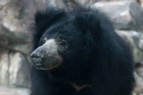 Sloth bear euthanized at National Zoo
