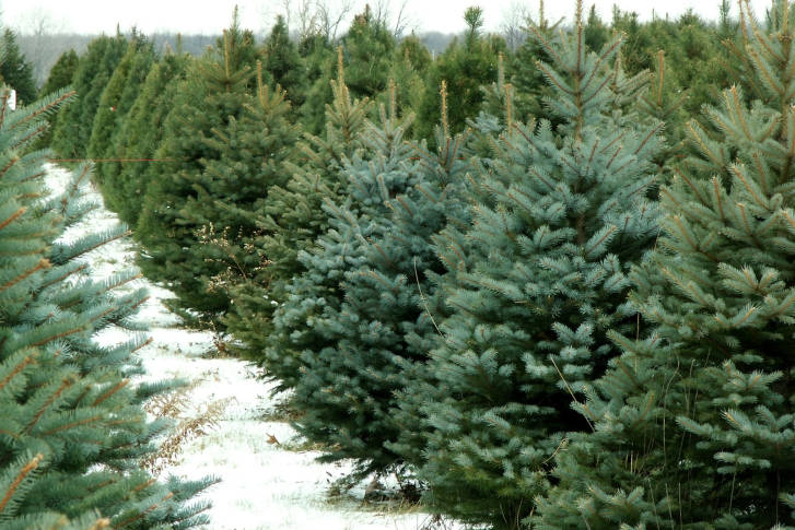 Where to get a Christmas tree in the DC area | WTOP